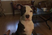 Puppy / Blue nose pit bull puppy