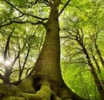 Sylwoterapia / Sylwoterapia - leczące drzewa: http://naturoterapia.info.pl/sylwoterapia-leczace-drzewa/