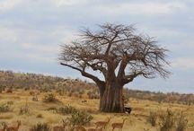 바오밥(baobab tree)
