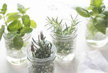 Plantar ervas aromáticas só em água