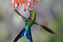 Violet-tailed Sylph: Aglaiocercus coelestis