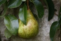 Pears {Recipes} /   / by Phoebe