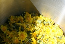 Dandelion Recipes / by Urban Moonshine
