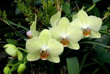 Orquídeas / Minha flor preferida