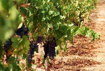 Vineyard on Antiparos