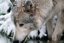 Wolves / by Kathleen Cavallon
