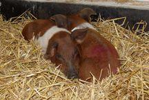 Husumer Rotbunte Schweine