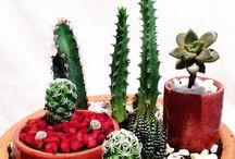 Amo Plantas Cactos , Suculentas, Orquídeas, Lírios, samambaias e Bromélias.... todas