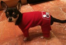 Chihuahuas with clothes