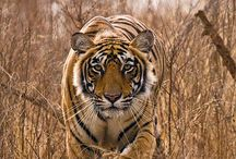 Nature Photography Tiger