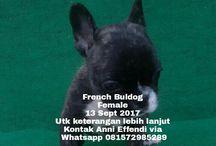 Jual French Buldog di Bandung