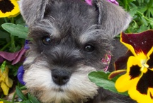 Its all about the Schnauzer