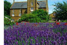 Norfolk Lavender England