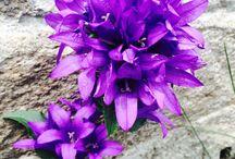Blume, fllower, Lule.