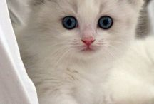 AngelGirl Ragdoll kittens / The cutest ragdoll kittens from www.AngelGirlRagdolls.com/Angels/