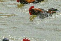 Swimming chicks