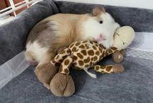 Guineai pig