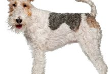 Fox Terrier Wire Haired / One of the oldest English terrier breeds, Wire Fox Terriers were developed in the 1800s to drive foxes out of their dens once the Hounds had chased them in. For almost a century, Wire Fox Terriers and Smooth Fox Terriers were categorized as the same breed. See more at: http://www.noahsdogs.com/m/dogs/breed/Fox-Terrier-Wire#sthash.rGNmUqNn.dpuf www.NoahsDogs.com