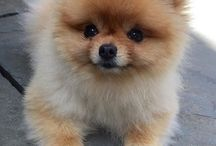 My love❤❤❤ pomerania