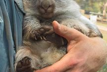 Wombats / All things wombat