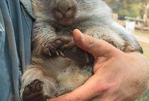 Fuzzy Buds: Wombats