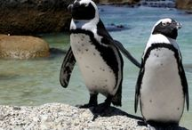 Cape Point Day Tours / Most day tours will include travel to the most popular sights and attractions including Chapman's Peak Drive, the Cape of Good Hope and Boulders Penguin Colony.   Cape Point Route has put together a selection of half day and full day tours in Cape Town, with options for a private tour or a scheduled tour.  Some of  the Cape Point Day Tours offer have specialised themes – be it adventure, biking, birding, wine, lighthouses, nature or photography.