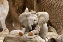 Elephants / If I wasn't human. I'd want to be an elephant