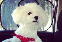 Poppy, our muse / Our cute bichon bolognese.