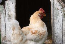 Chicken Bawks & Duck Ducks / The love of chickens and ducks.