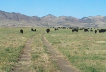 AGRICULTURE -  Cattle