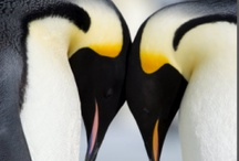 Penguin and Puffins / Penguins of all types and Puffins / by Sharon Marie (Hrozencik)Scott