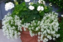 Geraniums Are Totally Underrated