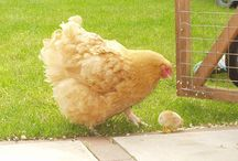 Chickens & Coops / by Bobbie Walton
