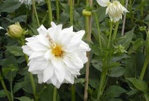 Dahlia sites on care and info on species