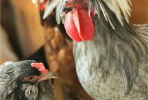 CHICKENS / The best in backyard chickens.