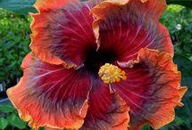 FLOWERS: Hibiscus