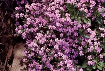 Let's Talk About #Soapwort / An herbal study board from Pixiespocket.com - Soapwort is a beautiful plant for the garden, spreads like wildfire, and you can make soap, shampoo, and gentle fabric wash from it! Come learn more about this green clean:   http://pixiespocket.com/2014/04/lets-talk-about-soapwort.html