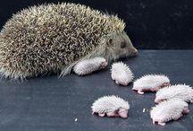 Hedgehogs!!!! / by Allison Randolph