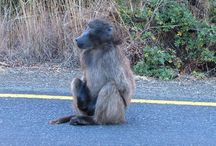 Adult and Juvenile Baboons / http://babybaboons.webnode.hu/ (Chacma-, Anubis-, Yellow- and Guinea Baboons)