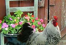 Kippen / Mooie, leuke en sfeervolle plaatjes van kippetjes...