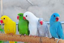 Indian ringnecks / Birds