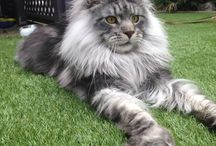 Mainecoons