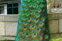Pawie i Ptaki
