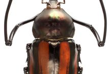 scarabaeidae euchirinae
