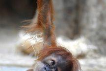 Ginger Monkeys