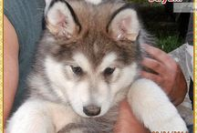 You'll love this Male Alaskan Malamute puppy looking for a new home.