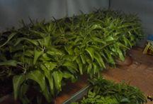 Plantas / Plantas de mi invernadero, buenas para nuestro cuerpo.