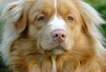 Rufus - The Duck Toller