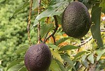 High Speed Avocado Ripener / An idea to create a gadget that will accelerate the ripening of your avocados, meaning you will be able to eat them sooner!