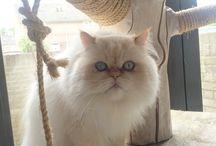 Reza en Katar / Persian cats